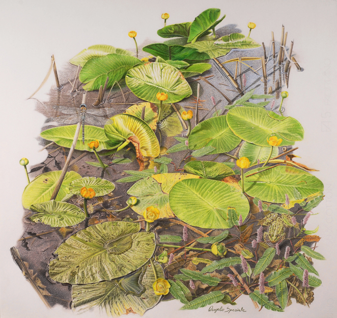 Nuphar lutea,  colored pencil on paper, ©Angelo Speziale