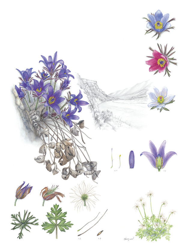 One of the images selected for the Flora of Korea exhibition,  Pulsatilla tongkangensis , watercolor on paper   ©Su-Mi Kim and Korea National Arboretum, recipient of the KFS Minister's Award.