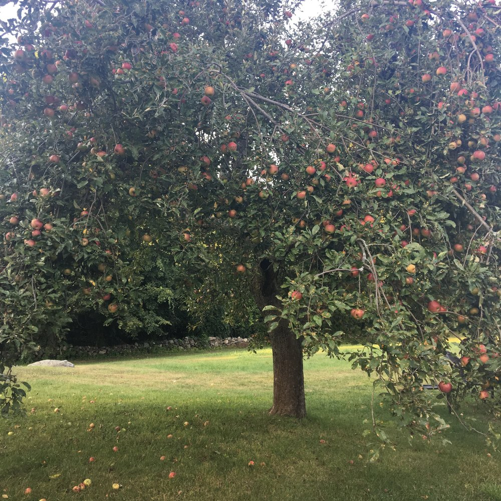 One of our backyard apple trees. I think this one is a McIntosh