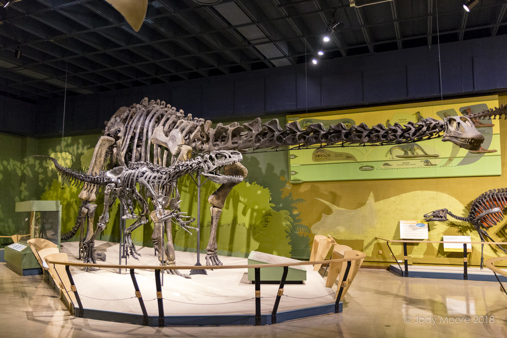 "The Cleveland Museum of Natural History is the home to ""Happy"", the sole adult specimen of the Haplocanthosaurus delfsi. The specimen from the Cleveland-Delfs Quarry near Canon City, CO is posed in the museum being harassed by an Allosaurus."