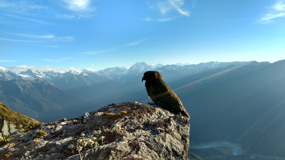 Kea perched on the Edge