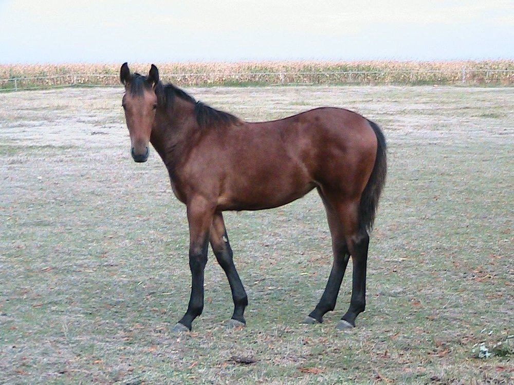 Little Dorrit Yearling