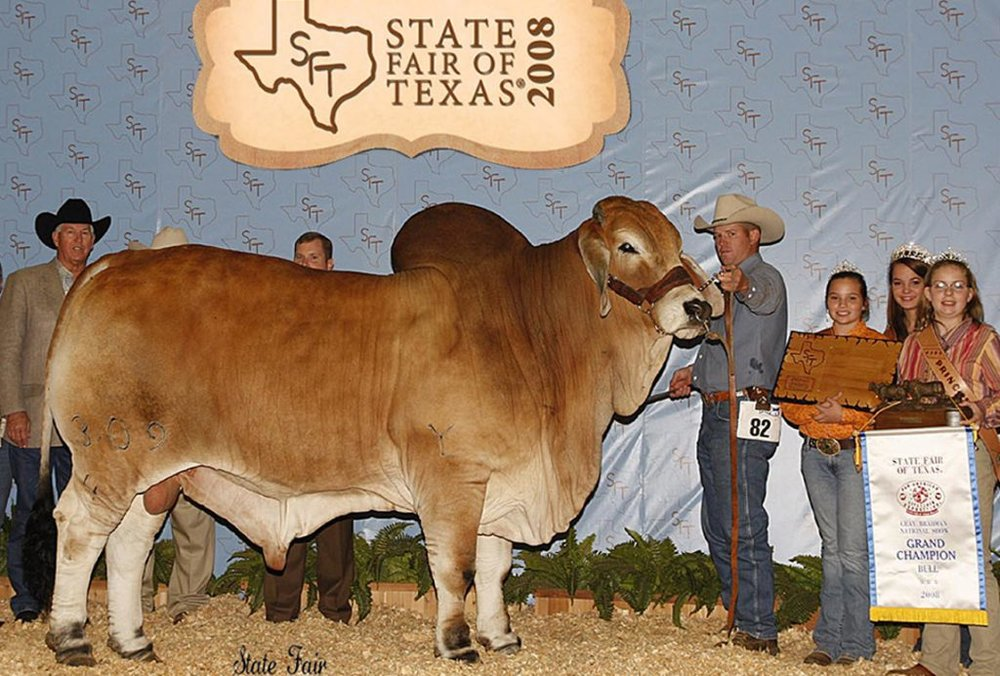 2008 ABBA National Reserve Grand Champion  JDH MR ELMO MANSO 309/4