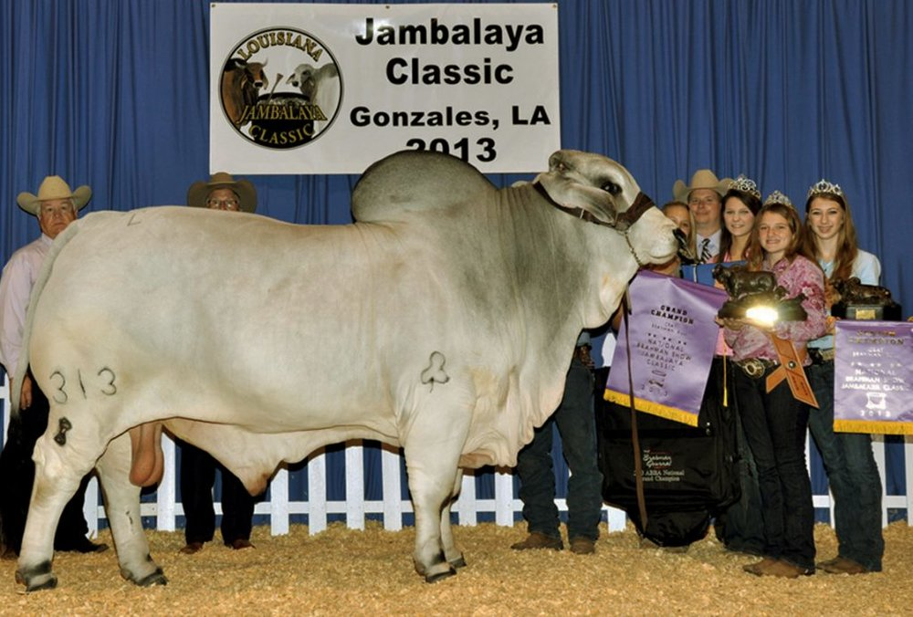 2013 ABBA National Grand & Senior Champion JDH CLANTON DE MANSO 313/8