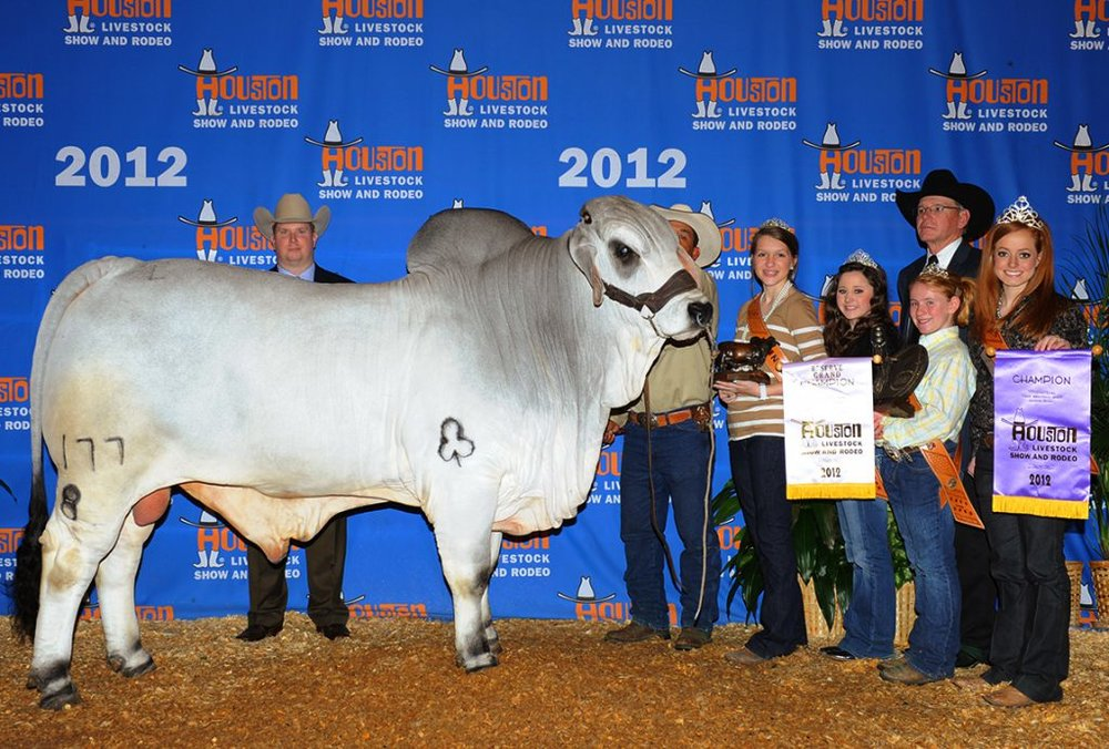 2012 Houston International Reserve Grand & Junior Champion JDH GENE MANSO 177/8