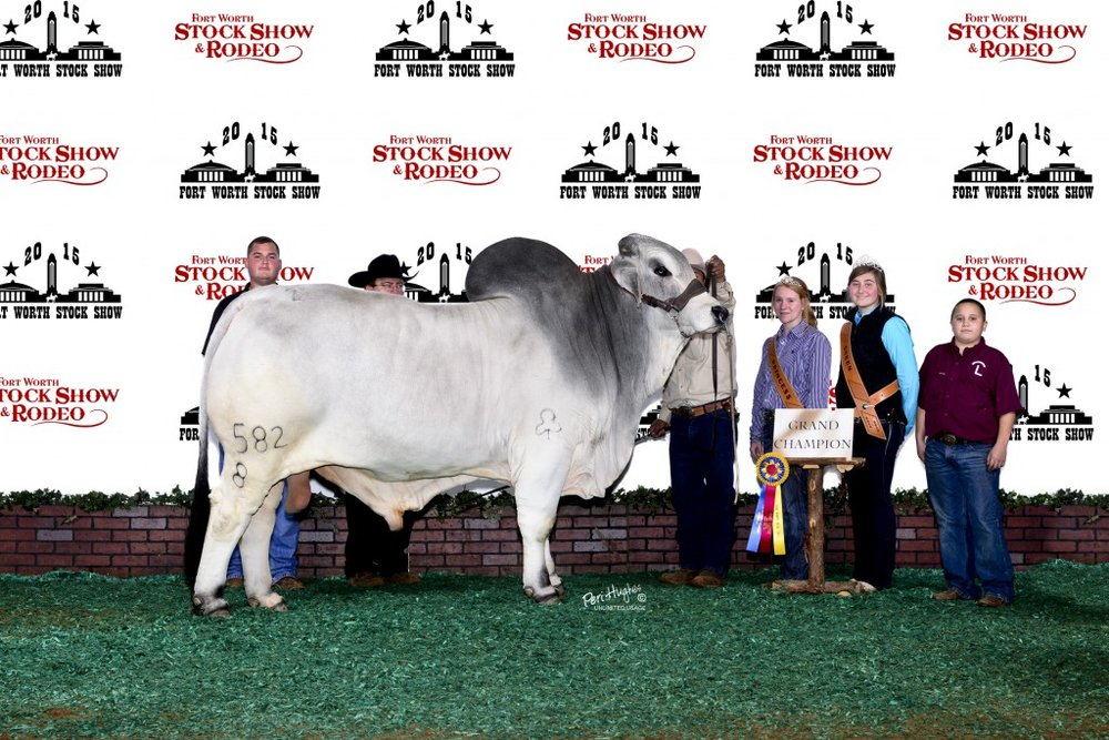 Junior Champion – JDH Shipley Manso 653/8  Sire: JDH Mariano Manso 747/7