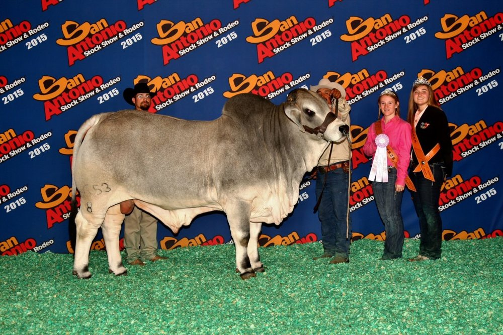 Reserve Junior Champion – JDH Shipley Manso 653/8 Sire: JDH Mariano Manso 747/7