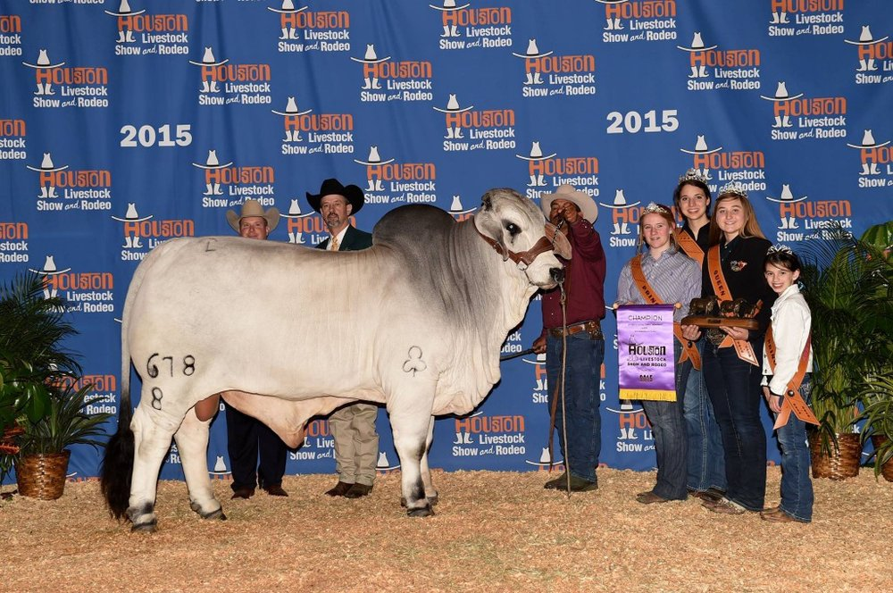 Intermediate Champion Bull JDH Sir Jacob Manso 678/8  JDH Woodson De Manso 206/7