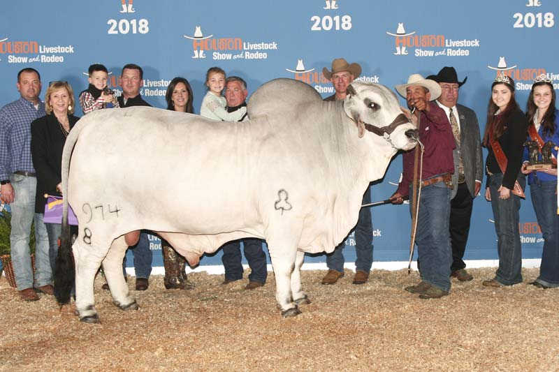 2018 ABBA International Show Reserve Senior Champion Gray Bull - JDH FALCO MANSO 974/8