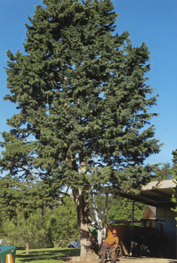 Oprah wanted to remove this shaggy Cedar