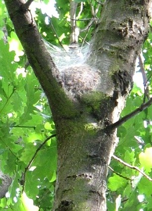 Oak Moth infestation is deadly to oaks.  Contact TLC for remedy!