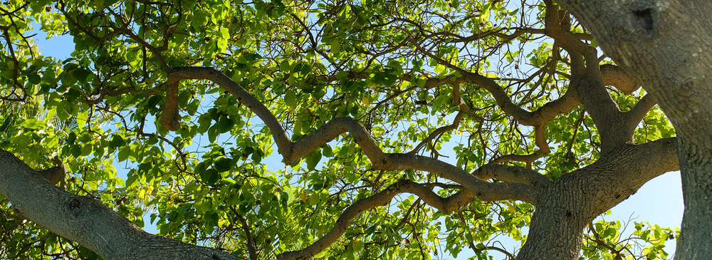 Let's get Honolulu to35% canopy cover by 2035! -