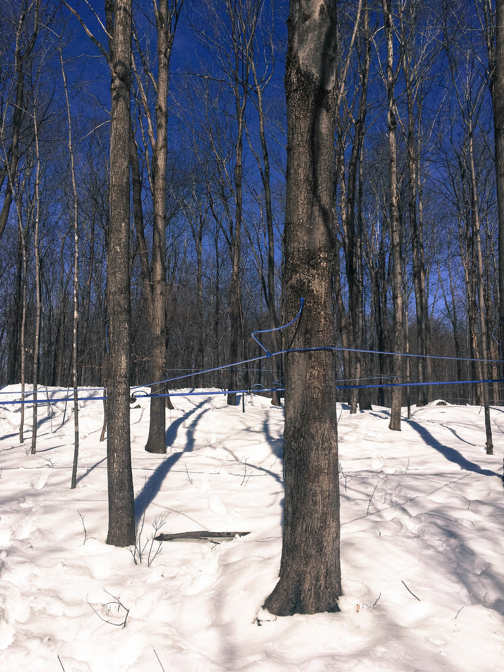 The blue tubes on the trees are connected and bring the maple water to a big reservoir. This is how maple syrup is done in a Cabane à sucre