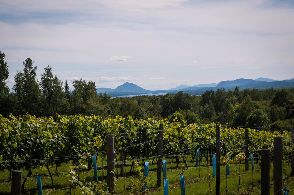 Vineyard, Au Vignoble d'Orford, with in the background Mont Orford