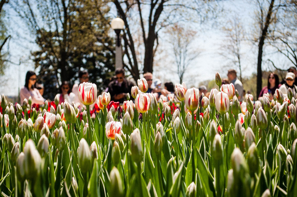 Tulips in the Canadian tulip festival in Ottawa