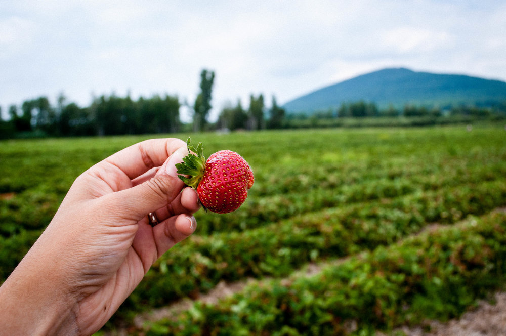 Strawberry field at POTAGER MONT-ROUGE HALTE GOURMAND
