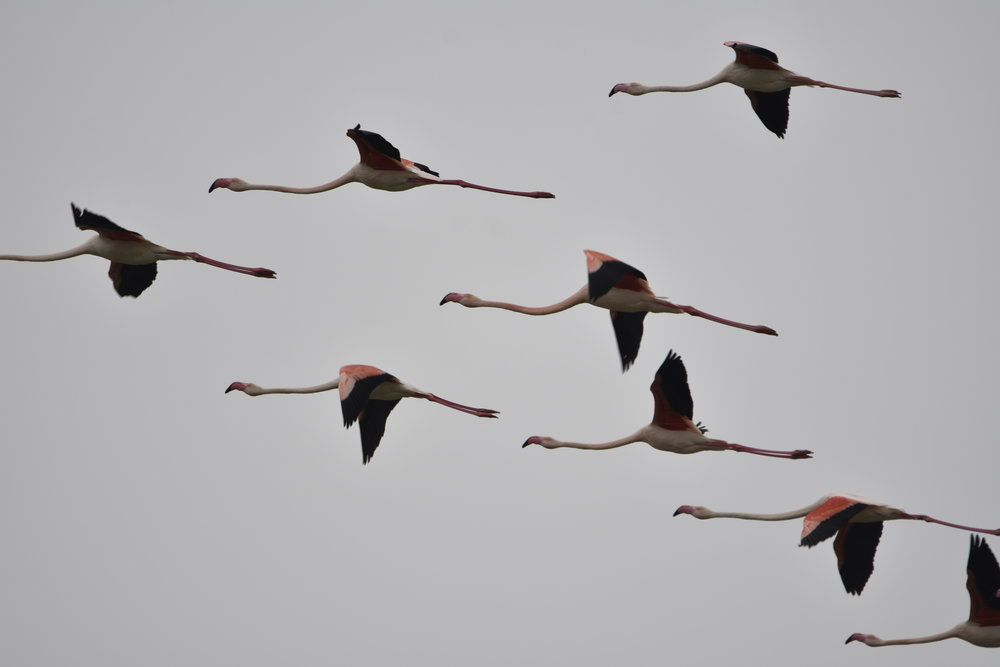Flamingos in the Po Delta Park. Photo provided by Po Delta Tourism since we did not get a chance to see them up close