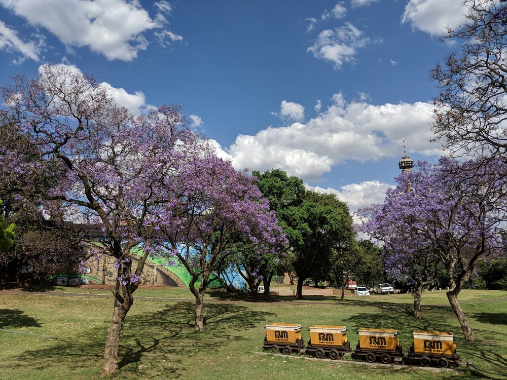 Jacaranda trees in full bloom in Johannesburg. Johannesburg Itinerary