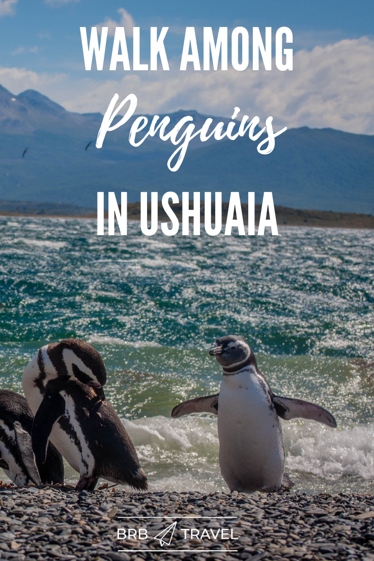 Did you know that you can walk among Penguins in Ushuaia (Argentina)? Read more about this unique experience with these cute animals! #Ushuia #Argentina #Penguins #travel #Americas #wildlife #SouthAmerica