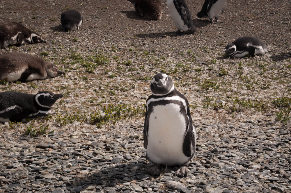 Walk among penguins.  Best things to do in Ushuaia