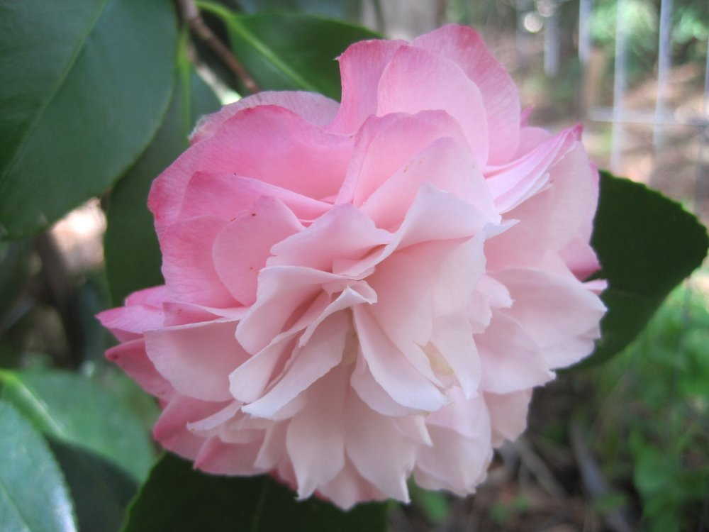 - Towards the end of January our camellias begin their show. Glossy jade leaves and glistening petals shine on dim January days. Most of my January blooms are small, so camellias fill a gap as focal flowers in designing.