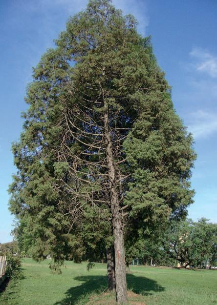 Lusitancia is a closely related species often included as macrocarpa