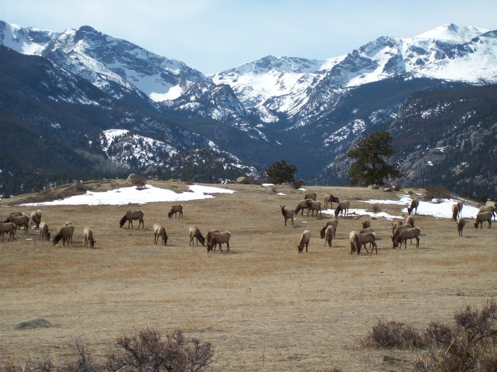Rocky Mountain Elk Herd