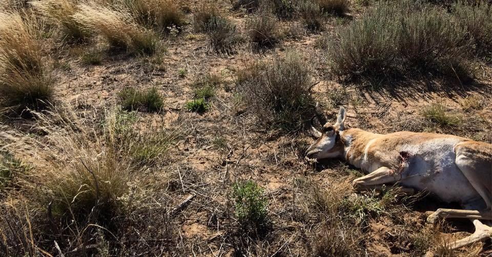 pronhorn antelope