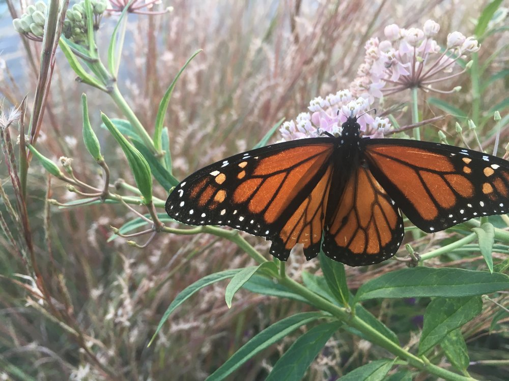 Monarch Butterfly on Swamp Milkweed (Asclepias incarnata) - Monarchs are an excellent example of a butterfly species that is uniquely suited to reproduce using only plants in the Milkweed family. There are over 12 native species of Milkweed to Missouri.