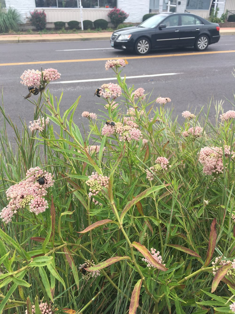 Native Carpenter Bees on Swamp Milkweed (Asclepias incarnata) at Hampton Wedge. How many can you count?!
