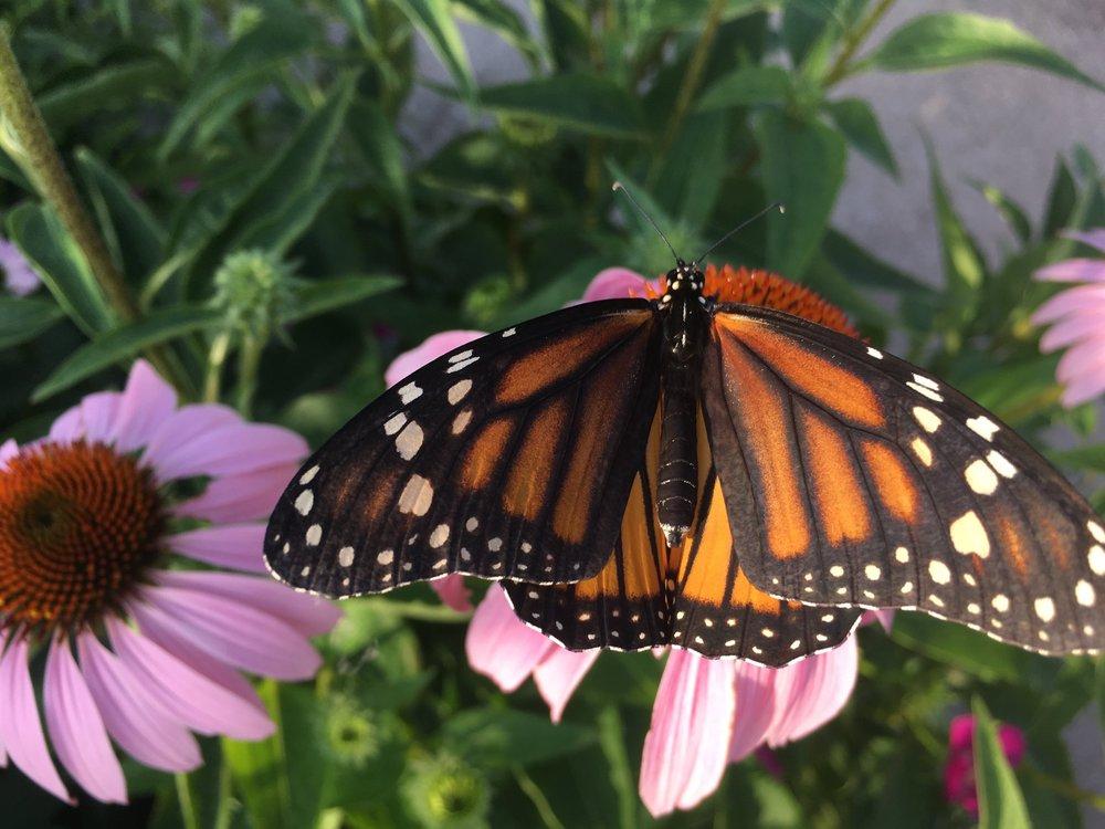 Monarch butterfly on Purple Coneflower (Echinacea purpurea)