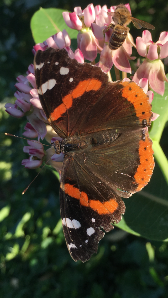 Red Admiral butterfly on Purple Milkweed (Asclepias purpurascens)