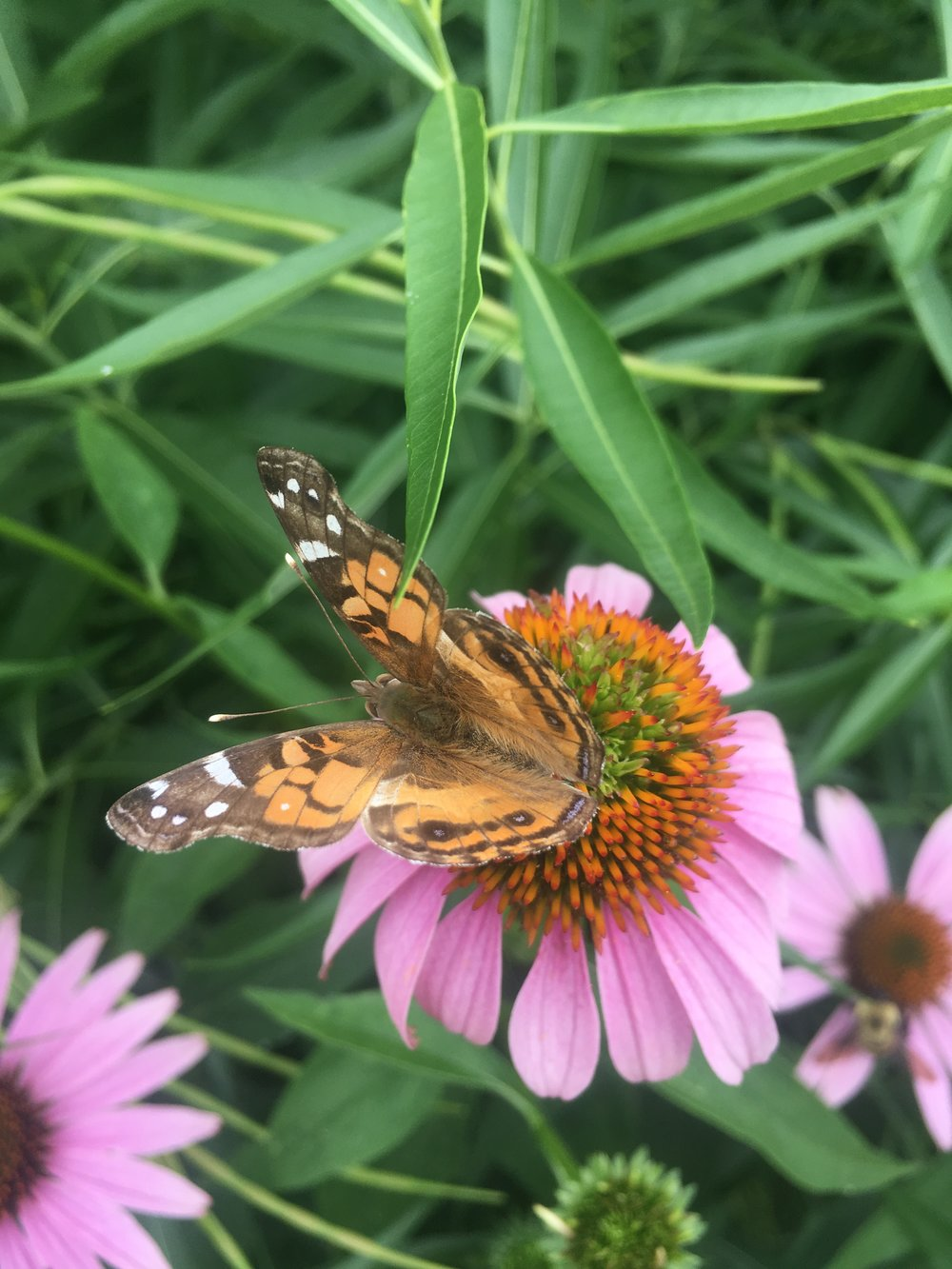 Painted Lady Butterfly on Purple Coneflower (Echinacea purpurea)