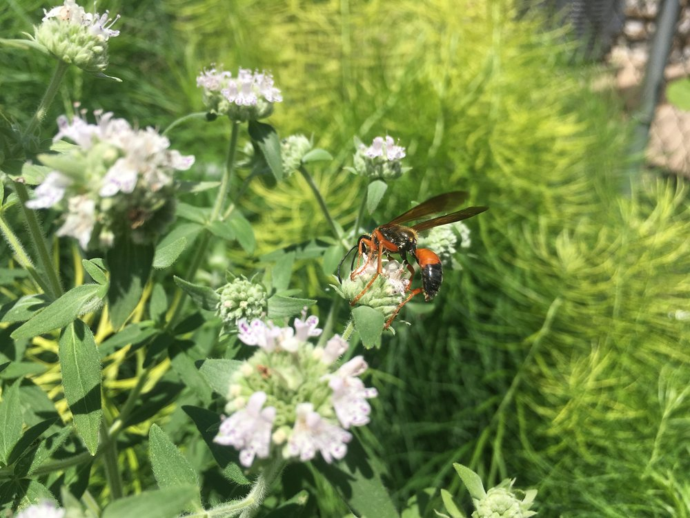 A Great Golden Digger Wasp on Hairy Mountain Mint (Pycnanthemum pilosum). There are actually an amazing number of wasps that visit flowers as adults!