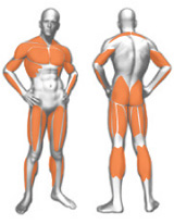 muscoli (47).jpg