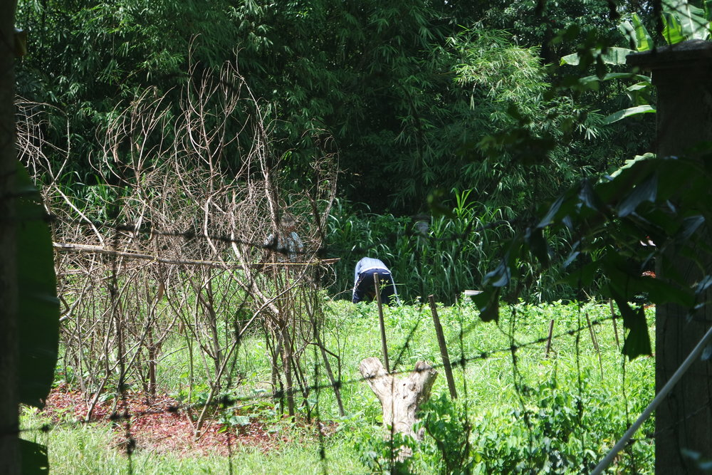 The biodynamic garden at TTG is the main source of clean food for the community.