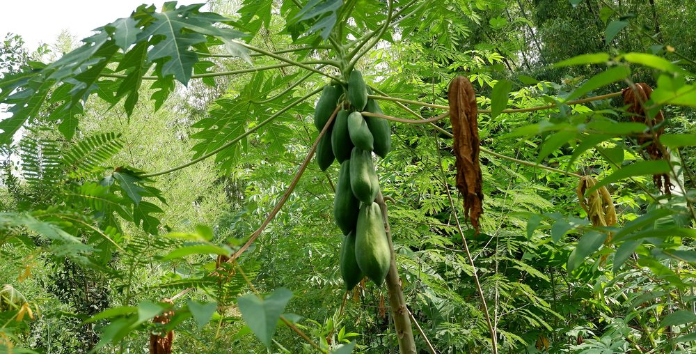 Even if the main crop is producing no fruits yet, supporting plants like papayas are already fruiting.