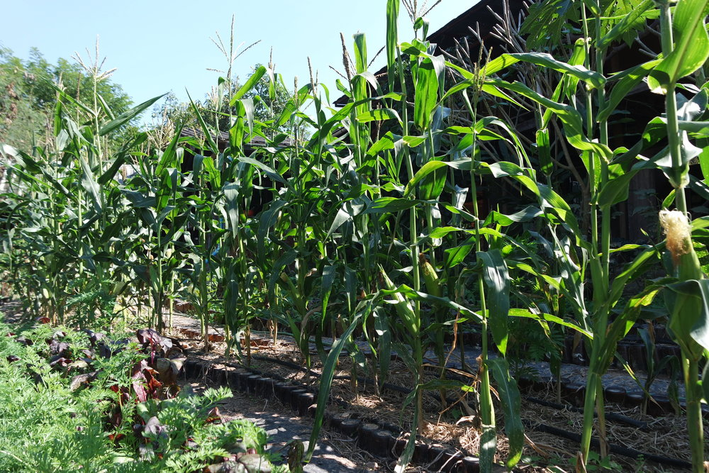 Corn and other crops are developing well in a double dig garden bed.
