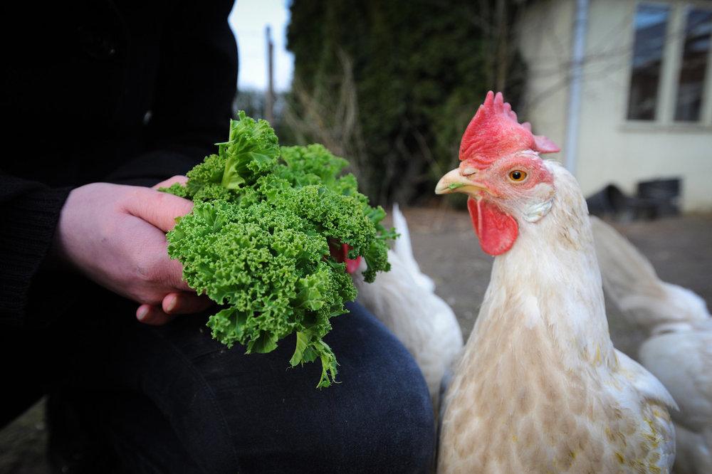 Sett høna før egget! Anima jobber for at aktørene i næringslivet skal droppe egg fra høner i bur.