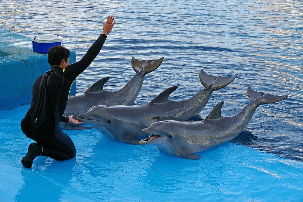 Ikke la deg lure av smilet - delfiner blir fysisk og psykisk syke i fangenskap -