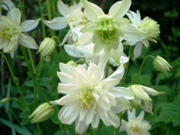 aquilegia green apples.jpg