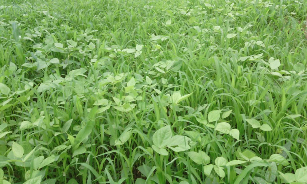 BD green manure