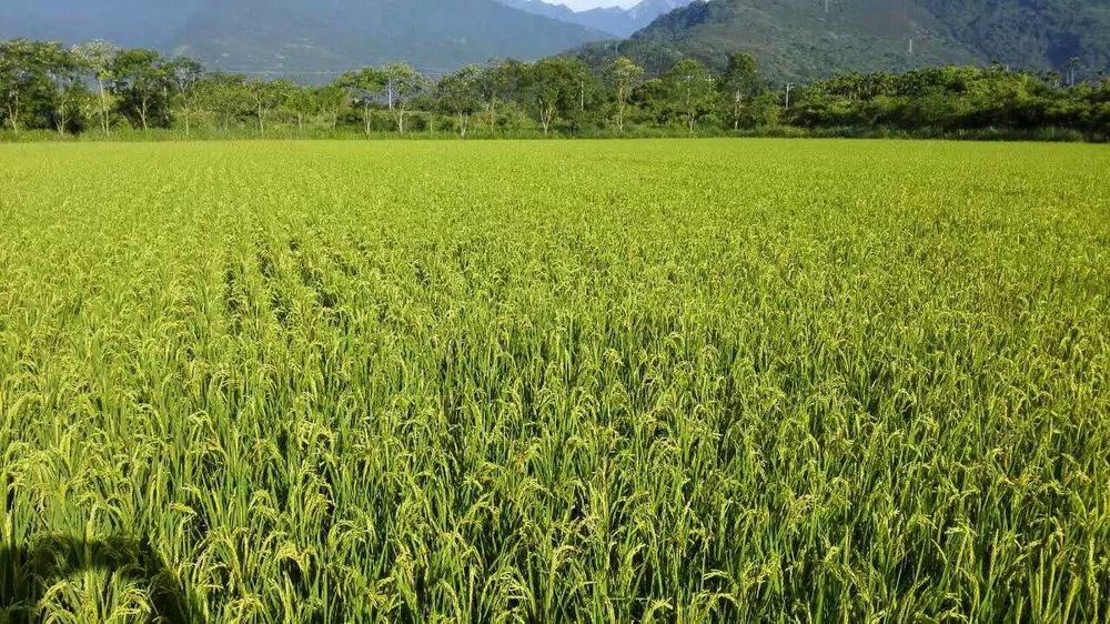 BD rice