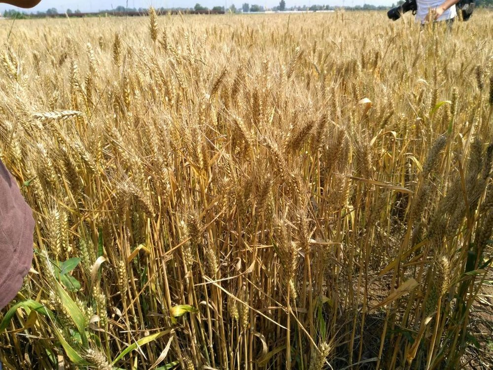 wheat at harvest