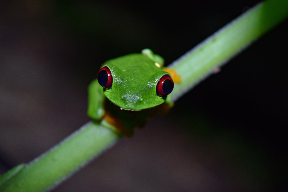 Click to see a video and photos from our upcoming case study on Agalychnis callidryas commonly known as the Red Eyed Tree Frog