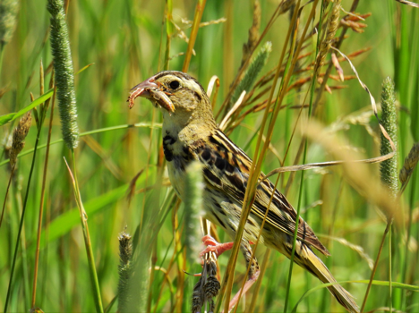 Female Bobolink carrying an insect to feed her young - Photo credit: Gerald Morris