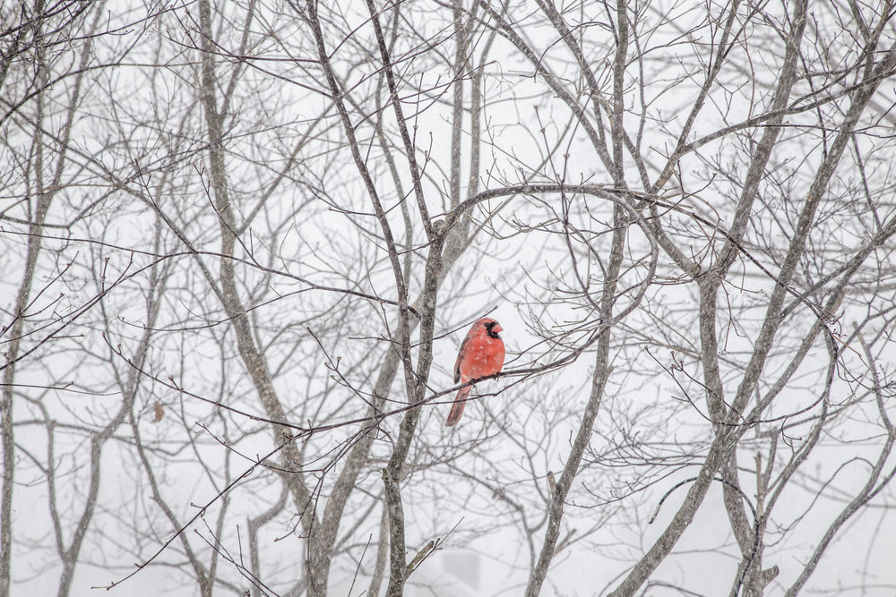fog cardinal-5035.jpg