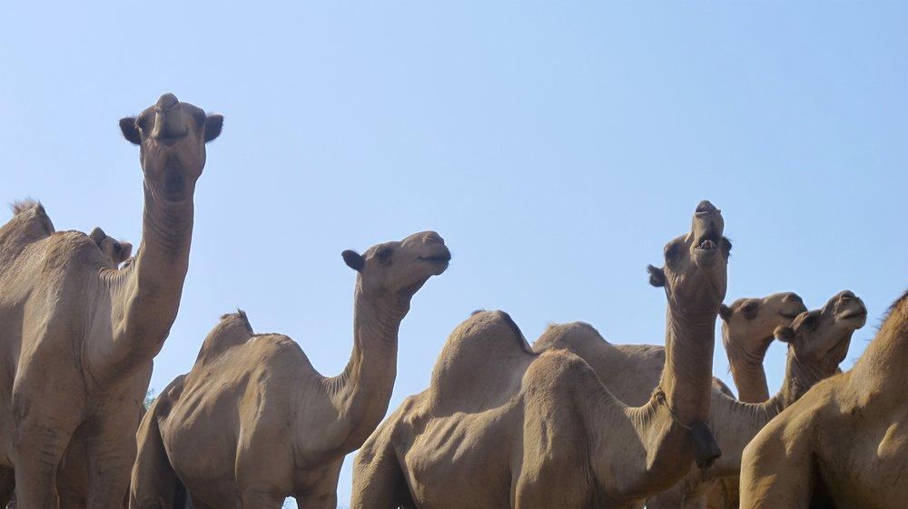 CamelBlueSky.jpg