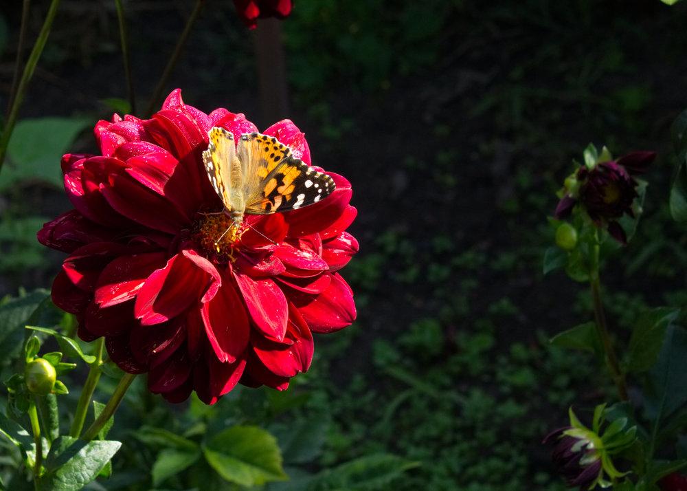 butterfly_dahlia.jpg