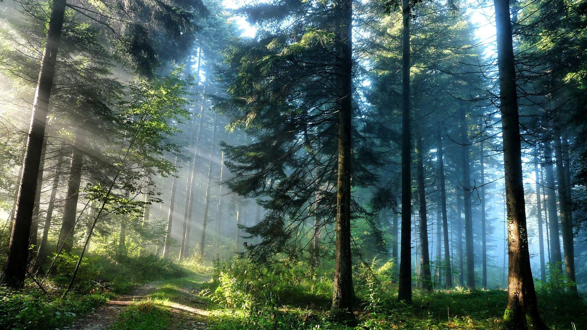 Forest Pine Path Light Road Sunlight Shine Blue